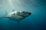 Great White Shark Swimming Underwater Photographic Print by Gerard Soury