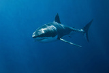 Great White Shark Photographic Print by John White Photos