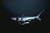Silvertip Sharks Photographic Print by Jeff Rotman