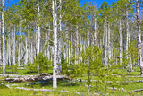 Aspen Grove Photographic Print by Philip Nealey