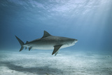 Tiger Shark in Water Photographic Print by Alastair Pollock Photography