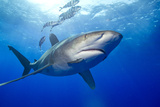 Predatory Oceanic Whitetip Shark Photographic Print by Stephen Frink