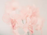 Peach Flower Photographic Print by  san