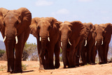 Elephants Heading for Water Photographic Print by David Cayless