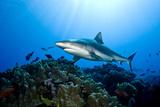 Gray Reef Shark (Carcharhinus Amblyrhynchos) Reprodukcja zdjęcia autor Stephen Frink