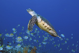 Hawksbill Turtle and Schooling Sergeants Photographic Print by Jones/Shimlock-Secret Sea Visions
