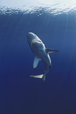 Oceanic Blacktip Shark Photographic Print by Jeff Rotman