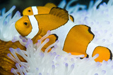 False Clown Anemonefish Photographic Print by Georgette Douwma