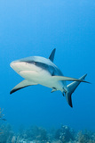 Caribbean Reef Shark Photographic Print by Michele Westmorland