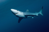 Blue Shark (Prionace Glauca), New Zealand Photographic Print by Tobias Bernhard