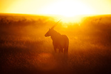 Oryx at Sunset Photographic Print by Michael Toye
