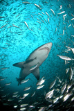 Big Raggie Swims through Baitfish Shoal Fotografisk tryk af Jean Tresfon