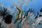 Juvenile Longfin Spadefish Reprodukcja zdjęcia autor Jones/Shimlock-Secret Sea Visions