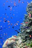 Fish on Tropical Coral Reef Reprodukcja zdjęcia autor Carl Chapman