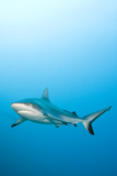 Grey Reef Shark Photographic Print by Michele Westmorland