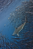 Shark Hunting Sardines Photographic Print by paul cowell photography