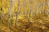 Yellow Aspen Trees in the Fall in the Sierra Mountains of California Photographic Print by William Stevenson