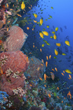 Reef Scenic with Sponges and Schooling Damselfish Photographic Print by Jones/Shimlock-Secret Sea Visions