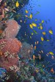 Reef Scenic with Sponges and Schooling Damselfish Photographic Print by Jones/Shimlock-Secret Sea Visions