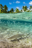 Blacktip Reef Shark in Atoll Lagoon Shallows Fotografisk tryk af Pete Atkinson