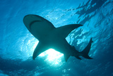 Lemon Shark (Negaprion Brevirostris), Bahamas Photographic Print by Werner Van Steen
