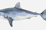 Illustration of Porbeagle (Lamna Nasus), a Type of Mackerel Shark Photographic Print by Dorling Kindersley