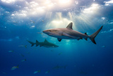Caribbean Reef Sharks and Sun Rays Photographic Print by Todd Bretl Photography