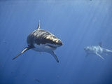 Two Great White Sharks Photographic Print by Photo by George T Probst