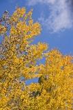Golden Aspen in Autumn Photographic Print by Morey Milbradt