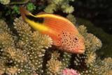 Freckled Hawkfish Perches on Stony Corals Reprodukcja zdjęcia autor Comstock