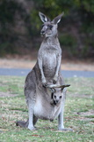Kangaroo and Baby Photographic Print by Vladimir Nardin