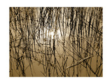 Reeds 8170 Photographic Print by Rica Belna