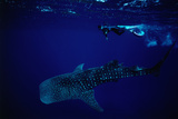 Whale Shark (Rhincodon Typus) and Diver. Photographic Print by Robert Halstead