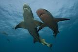 Lemon Shark and Reef Shark Photographic Print by Scott Portelli
