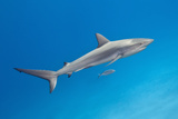 Reef Shark Swimming with Pilot Fish Photographic Print by Jeff Hunter