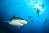 Shark Photographic Print by Alexander Safonov