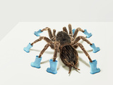 Tarantula Wearing Blue Gumboots Photographic Print by Michael Blann