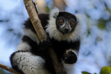 Black-And-White Ruffed Lemur Photographic Print by  JLR