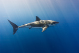 Spectacular Sunrays on a Spectacular Shark Photographic Print by Steven Trainoff Ph.D.
