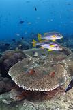 Sweetlip Fish Reprodukcja zdjęcia autor UMI NO KAZE/a.collectionRF
