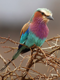 Searching Look of Lilac-Breasted Roller Photographic Print by Achim Mittler, Frankfurt am Main