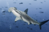 Hammerhead Photographic Print by by wildestanimal