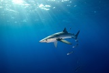 Blue Shark Photographic Print by James R.D. Scott