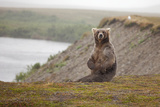 Female Grizzly Bear Sitting Photographic Print by Greg Boreham (TrekLightly)