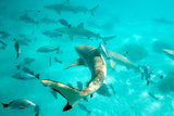 Tahiti Sharks Photographic Print by M Swiet Productions