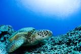 Sea Turtle Resting Underwater Reprodukcja zdjęcia autor Yusuke Okada/a.collectionRF