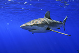 Galapagos Shark Photographic Print by Scott Sansenbach - Sansenbach Marine Photo