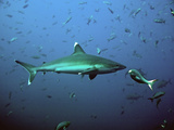 Silvertip Shark with Fish Photographic Print by photo by Shera Mercer