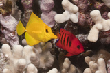Pair of Colorful Tropical Fish on Coral Reef Fotografisk tryk af Jeff Hunter