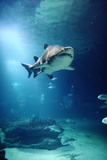 Underwater View of Shark and Tropical Fish Photographic Print by Rich Lewis